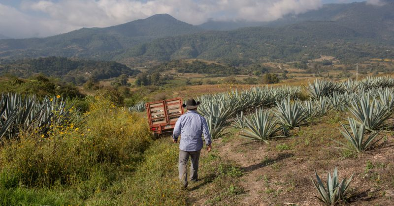 Oaxaca's Potent Secret, Mezcal Is Born of Time, Tradition and a Slow-Growing Plant